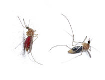 Insect Mosquito Royalty Free Stock Images