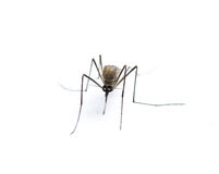 Insect Mosquito Royalty Free Stock Photos