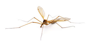 Insect Mosquito. Royalty Free Stock Photo