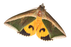 Insect moth Stock Images