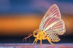 Insect, Moths And Butterflies, Butterfly, Invertebrate Royalty Free Stock Photos