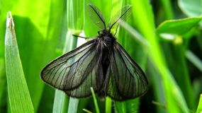 Insect, Moths And Butterflies, Moth, Invertebrate Stock Images
