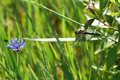 Cornflower and dragonfly on a summer day. stock images