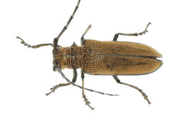 Insect mulberry borer beetle Royalty Free Stock Images