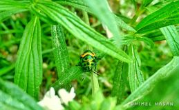 An insect. The insect now a days dont saw this insect Royalty Free Stock Images
