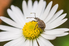 Free Insect On A Daisy Stock Photography - 37037562