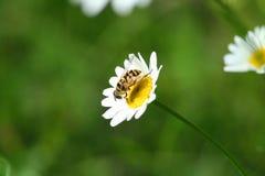 Insect op één enkele bloem Stock Afbeeldingen