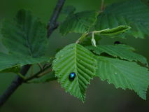 Insect op blad Royalty-vrije Stock Afbeelding