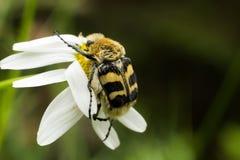 Insect op bloem Stock Afbeelding