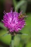 Insect op bloem Royalty-vrije Stock Afbeelding