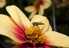 Insect op bloem stock fotografie