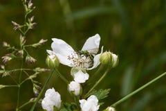 Insect op bloem Royalty-vrije Stock Afbeeldingen