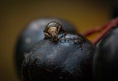 Insect op de bes Stock Foto's