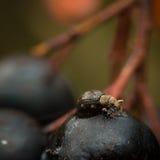 Insect op de bes Royalty-vrije Stock Foto's
