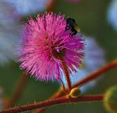Insect op de bloemmimosa royalty-vrije stock foto