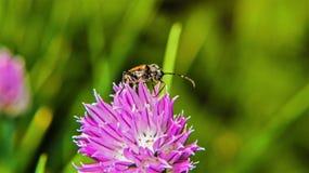Insect op een bloem Stock Afbeelding