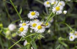 Insect op een kamille van het bloemgebied Stock Afbeeldingen