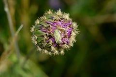 Insect op een knop Stock Foto's
