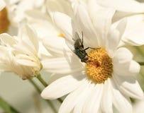 Insect op een margriet stock afbeeldingen
