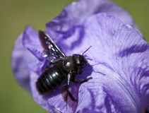 Insect op een purpere bloem stock afbeelding