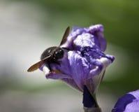 Insect op een purpere bloem stock fotografie