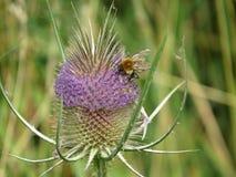 Insect op Kaarde (Dipsacus-fullonum) royalty-vrije stock afbeelding