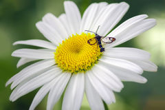 Insect op kamillebloem Stock Fotografie