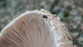 Insect op macrolepiota Stock Afbeeldingen