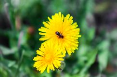 Insect op paardebloem in de lente, Insect op bloem royalty-vrije stock foto