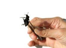 Insect op pincher met hand stock afbeelding