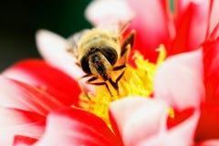 Insect op rode bloem Royalty-vrije Stock Foto