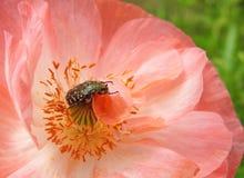 Insect op roze bloem royalty-vrije stock foto