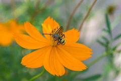 Insect and orange cosmos flower Royalty Free Stock Photos