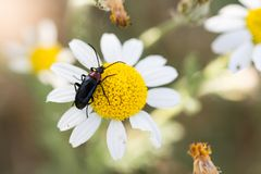 An insect in a daisy flower royalty free stock photo