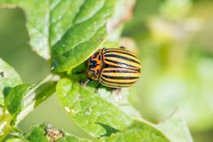 Insect pest Colorado beetle eats green leaves of potatoes in a summer garden stock images