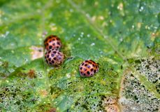 Insect pest of potato spotted ladybug Stock Image