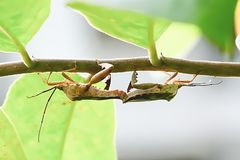 Insect pests are insects that eat insects together as food. Stock Photos