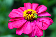 Insect on pink flower Royalty Free Stock Photography