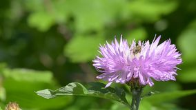 Insect on pink flower. Insect on a fluffy pink flower stock video footage