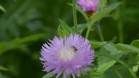 Insect on pink flower. Insect on a fluffy pink flower stock footage