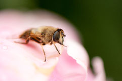 Insect on pink flower Royalty Free Stock Photos