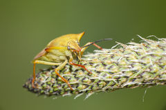 Insect in plant (Hemiptera). Macro photography of yellow bug in plant,  Hemiptera order Stock Photos
