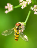Insect pollinates spring flowers Stock Images