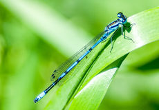 Insect portrait azure damselfly. (Coenagrion puella) basking on a reed stem Royalty Free Stock Photography