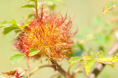 Insect portrait beduguar gall Stock Images