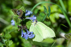 Insect portrait brimstone butterfly Stock Photos