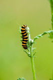 Insect portrait cinnabar moth caterpillar Royalty Free Stock Photography