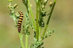 Insect portrait cinnabar moth caterpillar Stock Photography