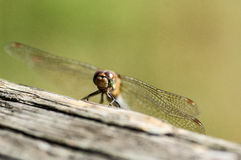 Insect portrait dragonfly head on Royalty Free Stock Image