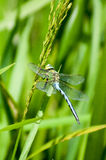 Insect portrait emperor dragonfly Stock Photos